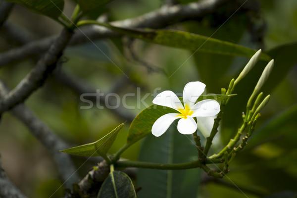white frangipani flower Stock photo © magann