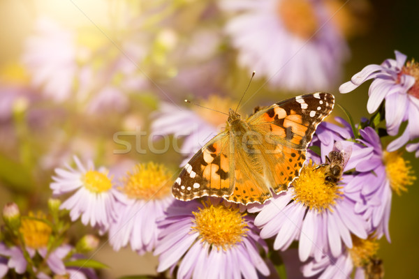 butterfly Vanessa cardui Stock photo © magann