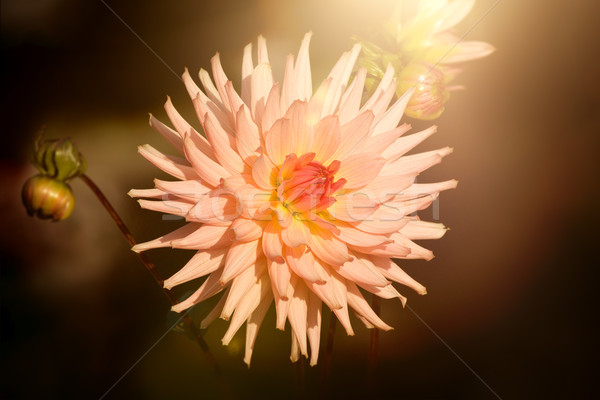 Dahlia donkere afbeelding mooie stemming bloemen Stockfoto © magann