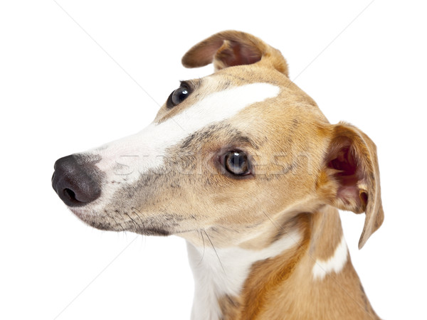 whippet Stock photo © magann