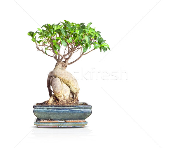bonsai Stock photo © magann