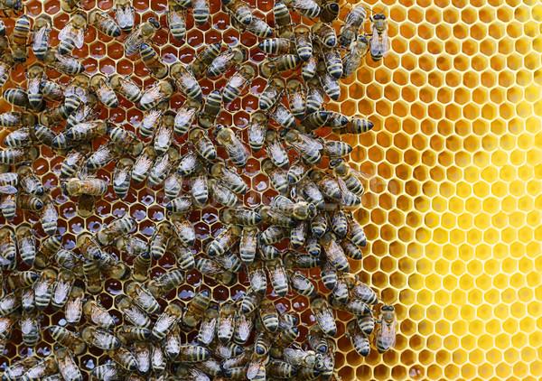 swarm Stock photo © magann