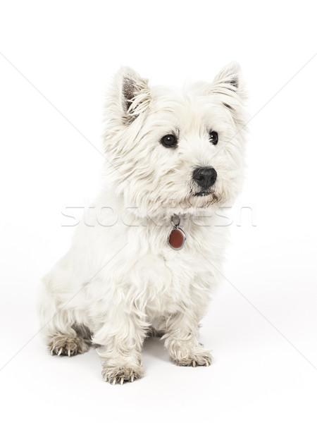 white Terrier Stock photo © magann