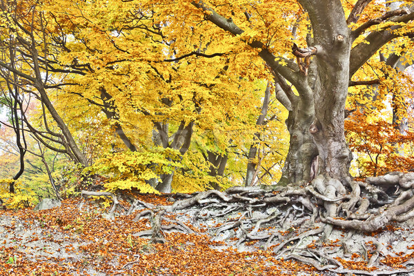 Jaune automne forêt image belle texture Photo stock © magann