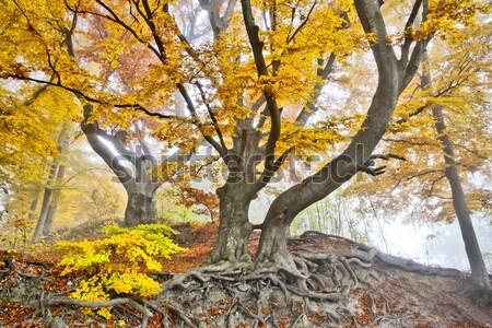 yellow autumn forest Stock photo © magann