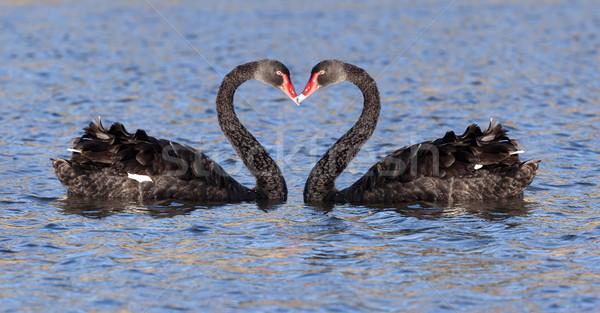 Fekete hattyú tó Tazmánia víz szeretet Stock fotó © magann