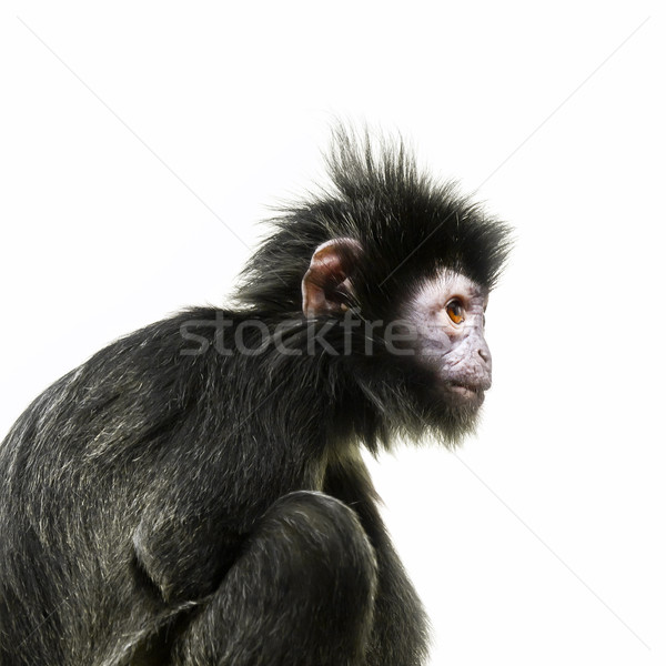 black ape with orange eye Stock photo © magann
