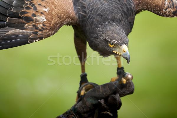 hawk bird Stock photo © magann