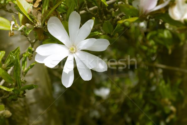 магнолия дерево изображение белый Blossom Пасху Сток-фото © magann