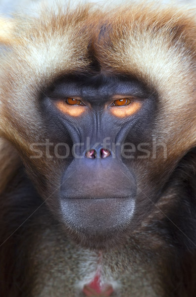 ape Stock photo © magann