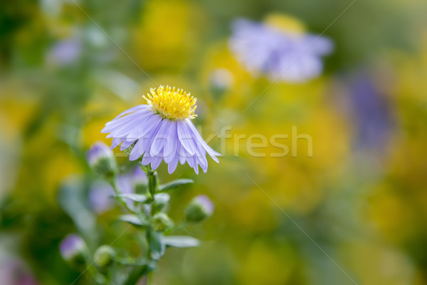 purple aster in the garden Stock photo © magann