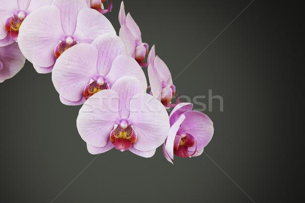 Roze orchidee bloesem afbeelding achtergrond schoonheid Stockfoto © magann
