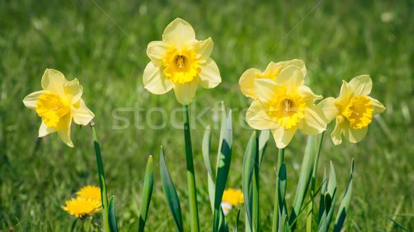 нарциссов изображение Nice желтый цветок природы Сток-фото © magann