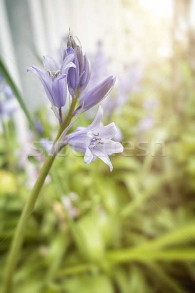 bluebell Stock photo © magann