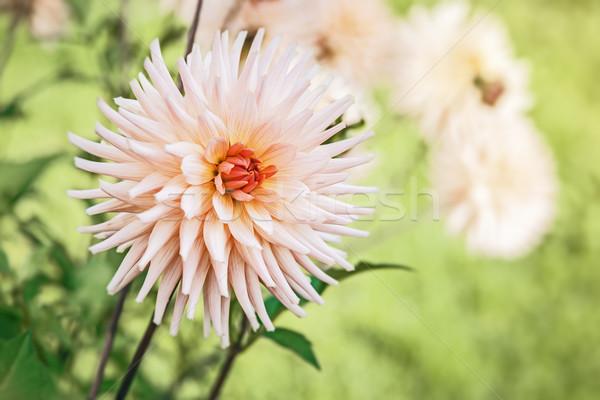 георгин изображение Nice зеленый саду текстуры Сток-фото © magann