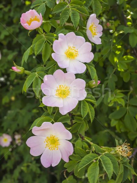 wild roses Stock photo © magann