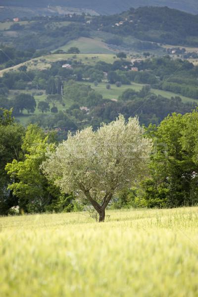 Jonge olijfboom afbeelding Italië hout veld Stockfoto © magann