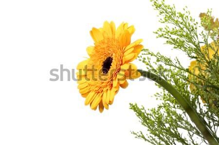 yellow gerber Stock photo © magann