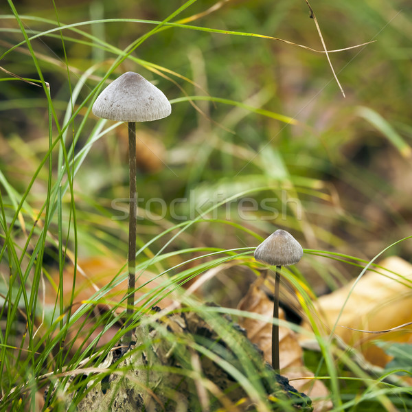Mycena Mushroom Stock photo © magann
