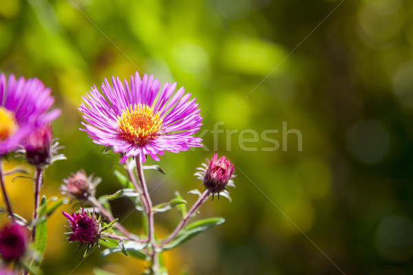 pink aster in the garden Stock photo © magann