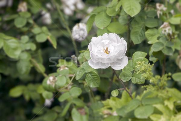 white wild rose Stock photo © magann