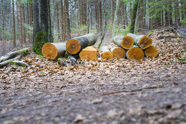 cutted wood in the forest Stock photo © magann