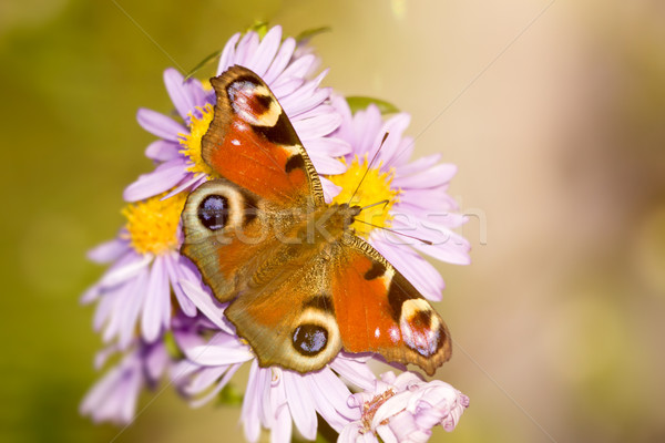 бабочка изображение Nice цветок природы фон Сток-фото © magann