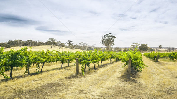 Barossa Valley Stock photo © magann
