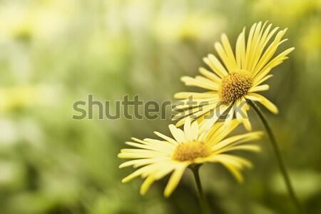 желтый цветок изображение красивой природы фон пространстве Сток-фото © magann