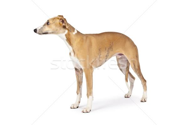 Stok fotoğraf: Görüntü · güzel · köpek · beyaz · doğa · ayakta