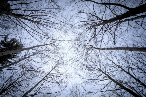 some leafless trees in the sky Stock photo © magann