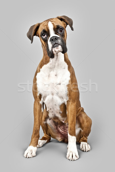 german boxer Stock photo © magann