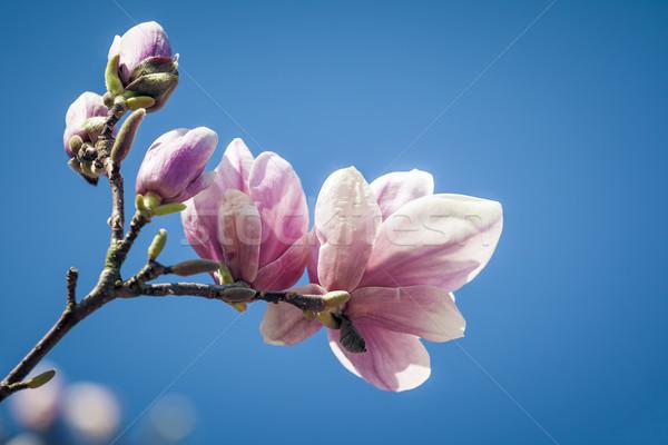 Magnolia obraz piękna kwiat niebo drzewo Zdjęcia stock © magann