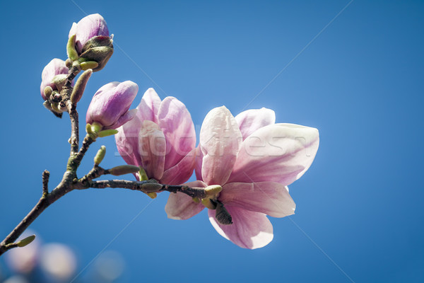 магнолия изображение красивой Blossom небе дерево Сток-фото © magann