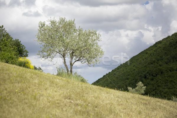 Jonge olijfboom afbeelding Italië hemel hout Stockfoto © magann