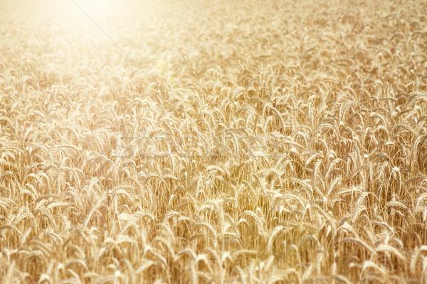 Campo de trigo imagen típico alimentos paisaje campo Foto stock © magann