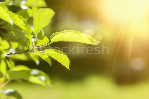 a green leaf spring background Stock photo © magann
