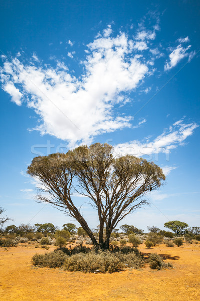 Bush arbre Australie image Nice australie du sud Photo stock © magann