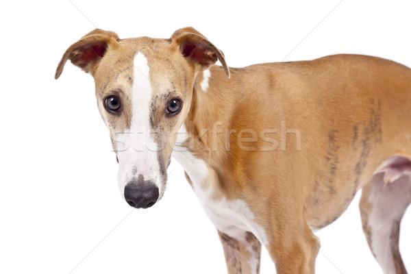 ストックフォト: 画像 · 美しい · 犬 · 白 · 自然 · 立って