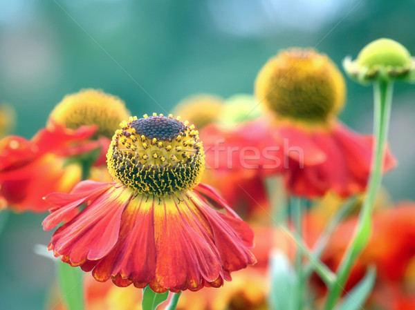 Helenium Stock photo © magann