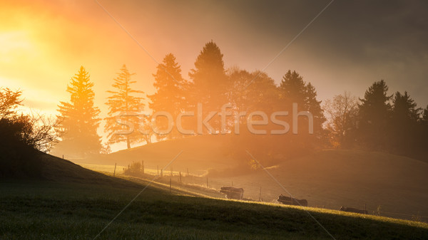 Vacas caminhada luz solar imagem paisagem luz Foto stock © magann