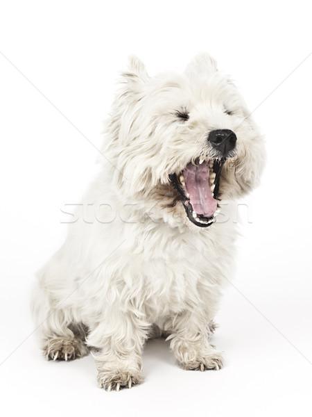 Bianco terrier immagine nice ragazza ritratto Foto d'archivio © magann