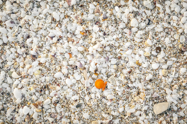 sea shell background Stock photo © magann