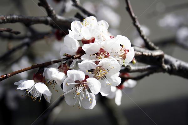 Abricot fleurs macro image floraison arbre Photo stock © magraphics