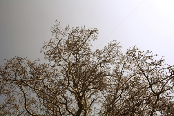 Maple branches Stock photo © magraphics