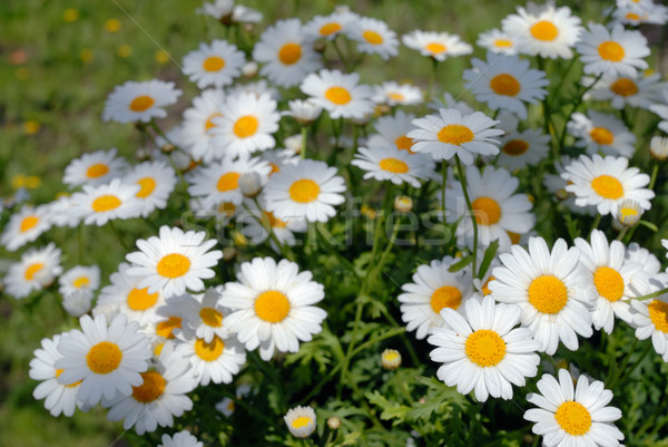 Stockfoto: Tuin · groene · daisy · kleur · witte · gazon