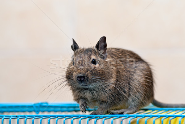 клетке волос мыши ПЭТ мех Cute Сток-фото © mahout
