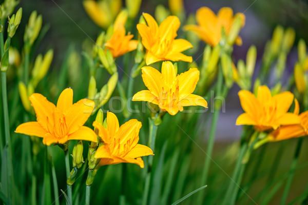 Lirios jardín hermosa amarillo naturaleza fondo Foto stock © mahout