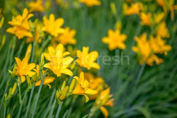 Lírios jardim belo amarelo flor natureza Foto stock © mahout