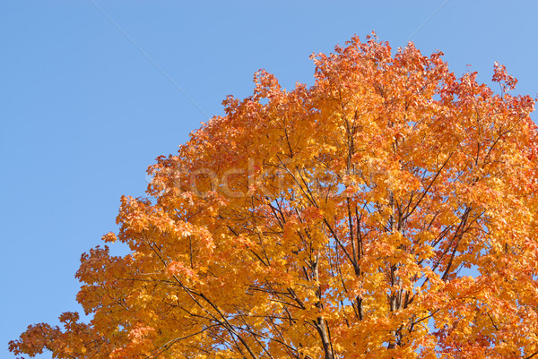 Tree in autumn colors against the blue sky Stock photo © mahout